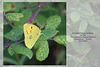Clouded Yellow butterfly OENR 15 9 2021