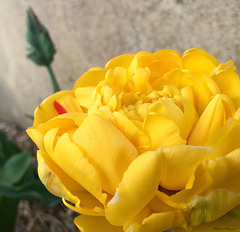 Tulipes double à fleur de pivoine