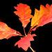 Querqus Autumn