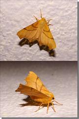 Ennomos erosaria femelle.
