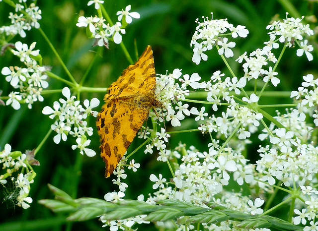 le papillon panthère...