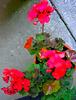 Last geraniums