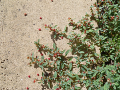 Saltbush seeding