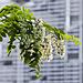 Perfumed acacia flowers
