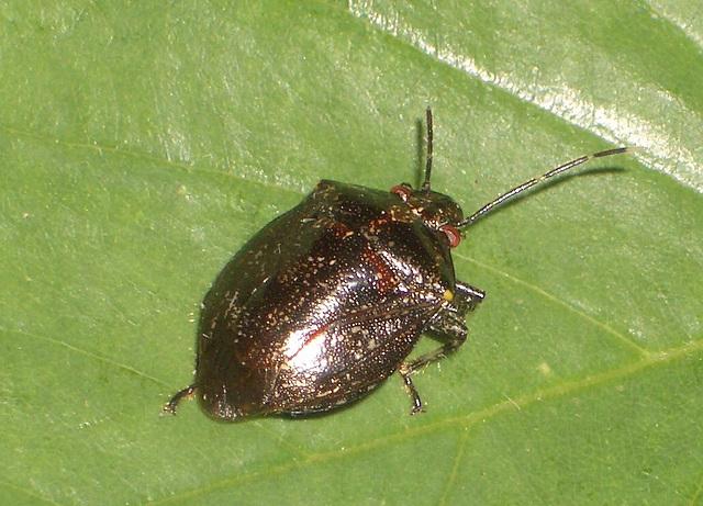 49 Shield Bug 4