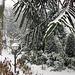 Araucarea   Snake-Pine tree