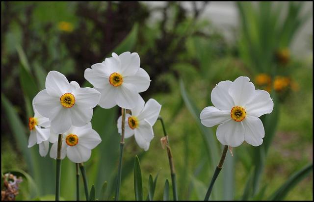 Narcisse des poètes (1)