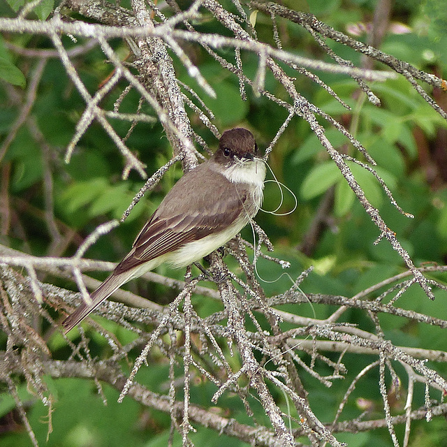 Eastern Phoebe with fishing line
