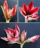 Flowering Amaryllis flowers. Part 2. ©UdoSm