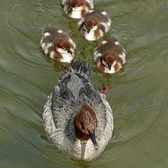 Common Merganser family