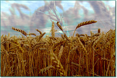Requiem pour nos blés / Requiem for our wheat