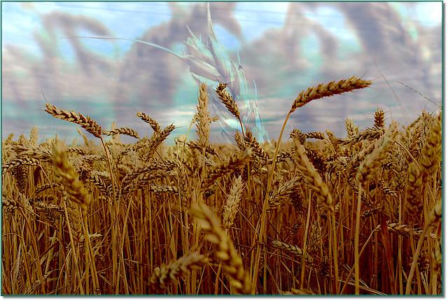 Requiem pour nos blés / Requiem for our wheat