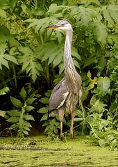 Heron au marais