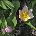 Tulipa bakeri Lilac Wonder (3)
