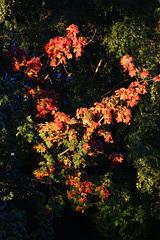 L' automne essaie son collier. Осень надевает своё ожерелье.