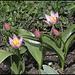 Tulipa bakeri Lilac Wonder (4)