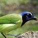 Day 6, Green Jay / Cyanocorax yncas, southern Texas