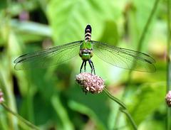Green Clearwing, or Eastern Pondhawk (Erynnis icelus), female.