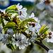 Tiempo de cerezos en flor. Buena primavera para todos