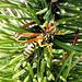 Wespe in Latschenkiefer 4. ©UdoSm