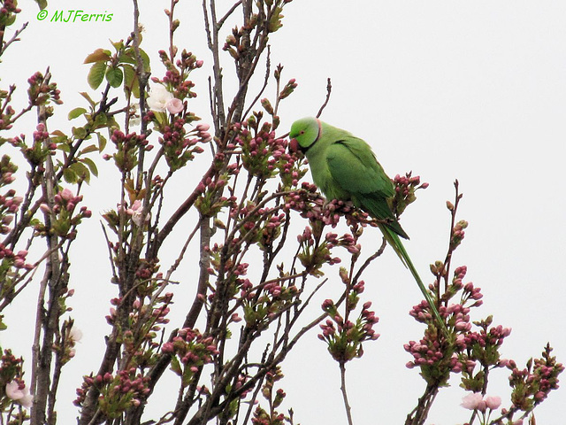 01 Ring-necked Parakeet
