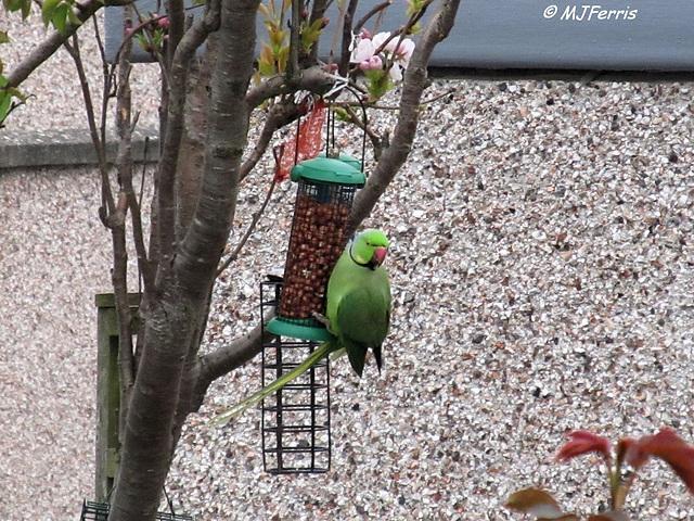 02 Ring-necked Parakeet