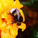 Hummel auf Gartenblume