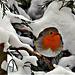 Le petit rouge gorge et la neige du 10 février.