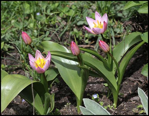 Tulipa bakeri Lilac Wonder (6)