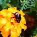 Hummel auf Gartenblume II