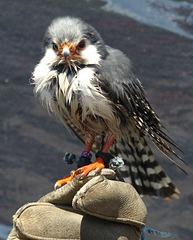 Pygmy Falcon (2) - 3 June 2017