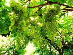 das Gold des Weinbauerns (PiP)