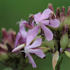 Saponaire - Saponaria officinalis