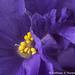 Arctic Frost Violet Macro