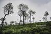Big tree brothers protect the small tea shrubs