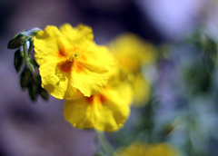 Helianthemum  (Golden Queen)