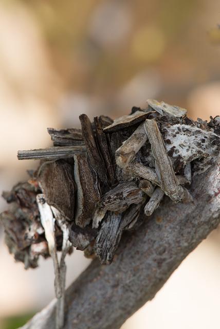 leaf case moth caterpillar (Hyalarcta huebneri)