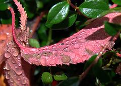 Raindropped Autumn Leaves