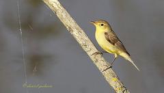 Hypolaïs polyglotte - Hippolais polyglotta - Melodious Warbler