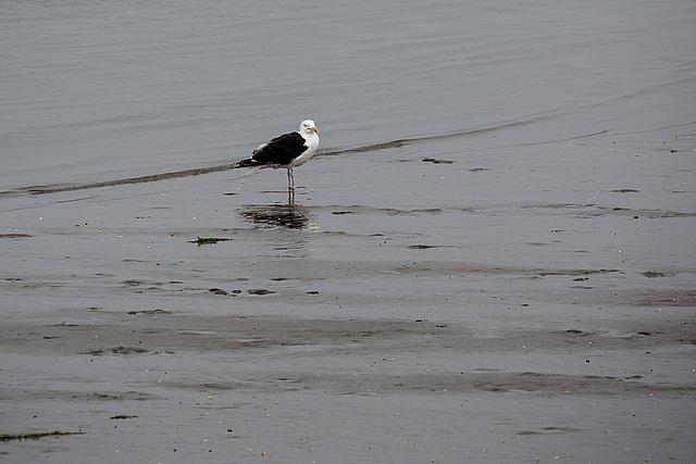 20140910 5087VRAw [NL] Mantelmöwe (Larus marinus), Terschelling