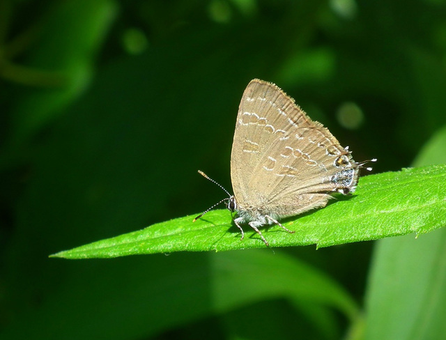 porte-queue du chêne/ banded hairstreak
