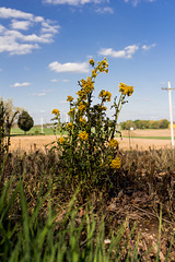 Butterweed Plant