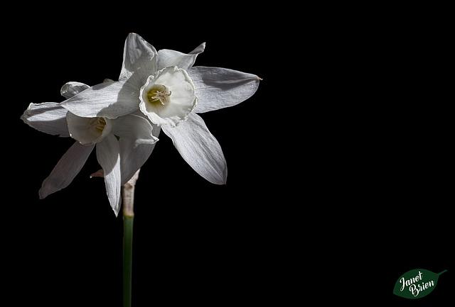 134/366: Elegant White Daffodils