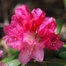 Wissahickon Rhododendron