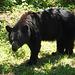 Black Bear in Shanandoah (PiP)