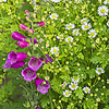 Foxgloves and Feverfew