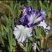 Iris Classic Look (1)