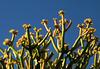 Pencil Plant Flowers (2698)