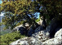 Holm oak / encina