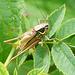 Roesels Beißschrecke (♂) in Heckenrose